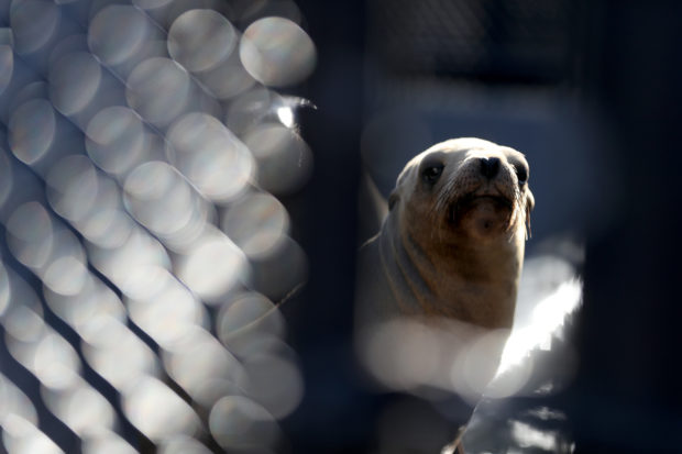 SAUSALITO, CALIFORNIA - JULY 03: A sick California Sea Lion sits in an enclosure at the Marine Mammal Center on July 03, 2019 in Sausalito, California. The Marine Mammal Center is seeing a surge of sick and malnourished California Sea Lions and pups washing up on Northern California beaches in the past month. There are currently over 130 sea lions being cared for at the Marine Mammal Center, many of which appear to be suffering from domoic acid poisoning. (Photo by Justin Sullivan/Getty Images)