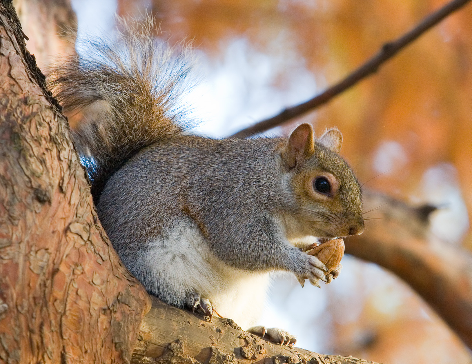 """File:Eastern Grey Squirrel in St James's Park, London - Nov 2006 edit.jpg"" by Diliff is licensed under CC BY-SA 3.0"