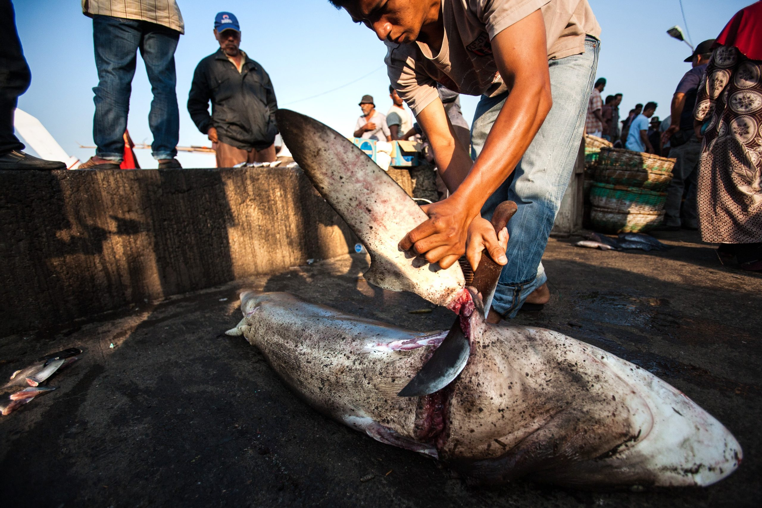 An Indonesian fisherman cuts the fin of a shark in Lampulo fish market in Banda Aceh in Aceh province on March 7, 2013. (Photo credit should read CHAIDEER MAHYUDDIN/AFP via Getty Images)