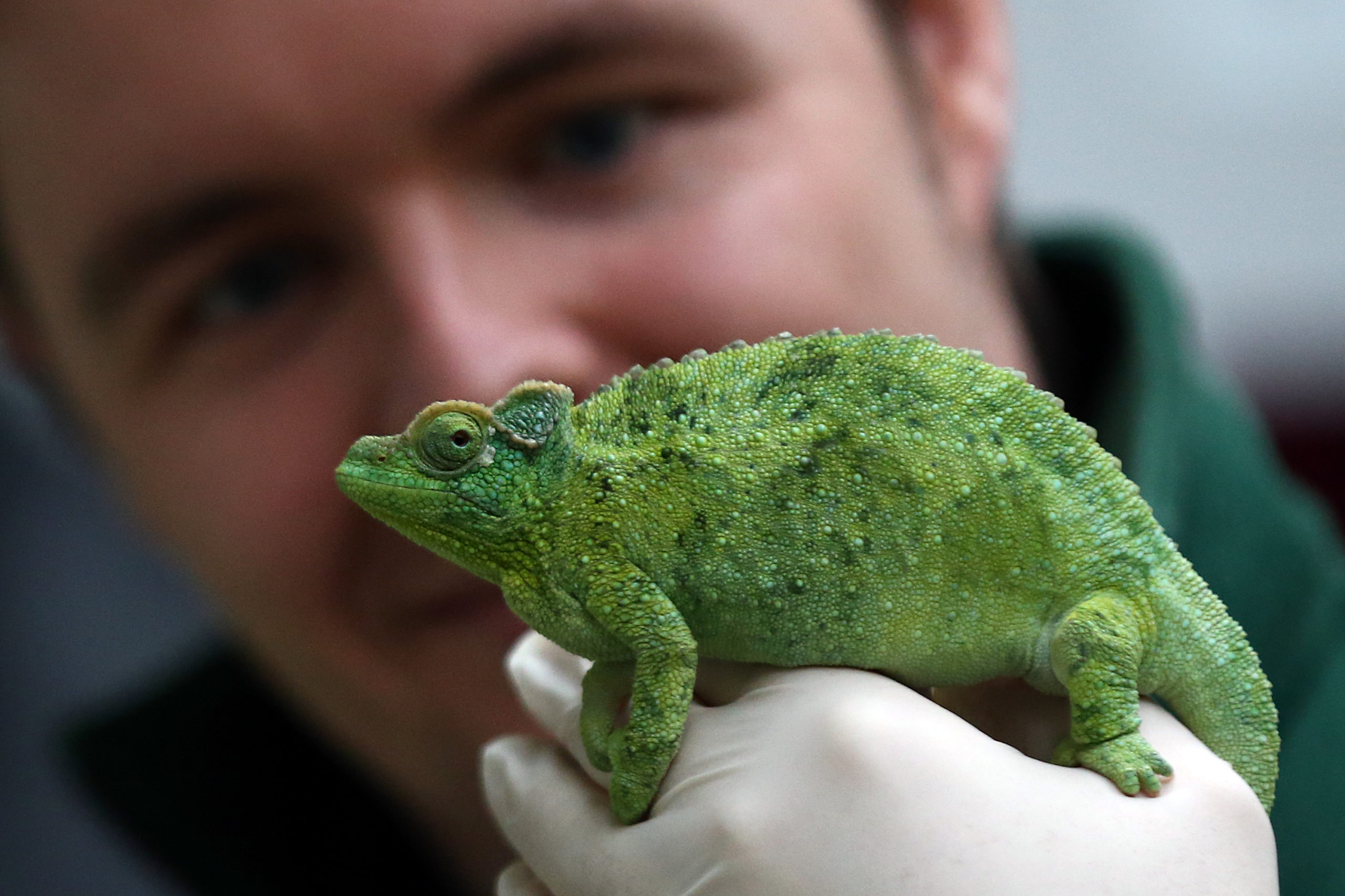 LONDON, ENGLAND - JANUARY 04: A Jackson's chameleon is handled by zoo keeper Luke Harding during the annual stocktake of animals at ZSL London Zoo on January 4, 2016 in London, England. The zoo's annual stocktake requires keepers to check on the numbers of every one of the 800 different animal species, including every invertebrate, bird, fish, mammal, reptile, and amphibian. (Photo by Carl Court/Getty Images)