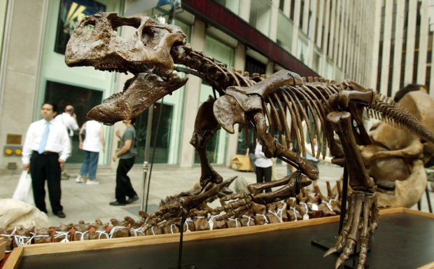 NEW YORK - JUNE 16: Onlookers view a Psittacosaurus skeleton outside the Fox studios which will be auctioned along with other dinosaur fossils and pre-historic creatures by Guernsey's Auction House June 16, 2004 in New York City. The various fossils and bones will be auctioned June 24 in New York City's Park Avenue Armory. (Photo by Mario Tama/Getty Images)