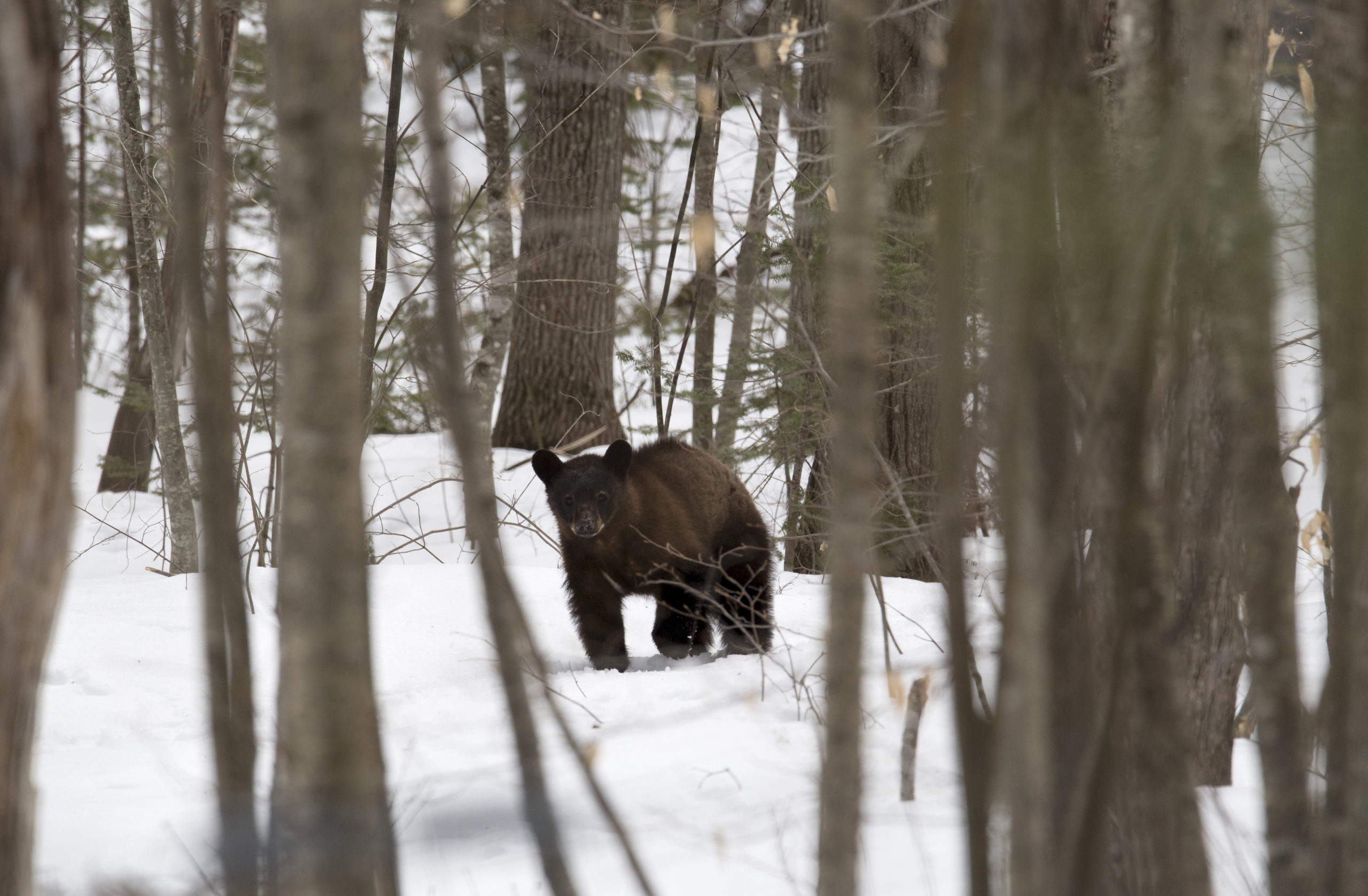 A black bear roams the property of Independent Wildlife Biologist Ben Kilham March 29, 2018 in Lyme, New Hampshire. (DON EMMERT/AFP via Getty Images)
