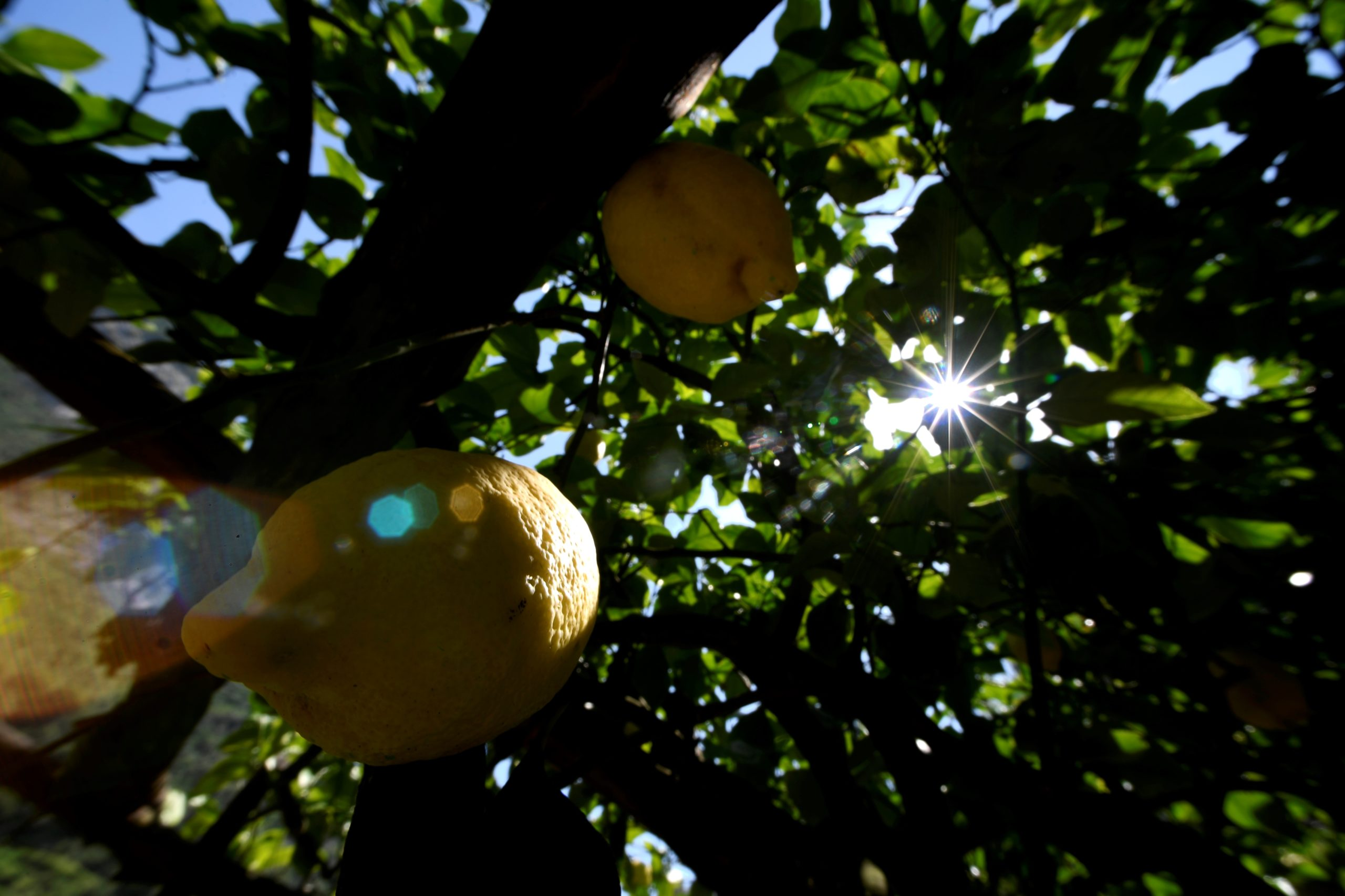 Lemon are seen in the Aceto family lemon tree farm, on July 2, 2020 in Amalfi. (Photo by Filippo MONTEFORTE / AFP) (Photo by FILIPPO MONTEFORTE/AFP via Getty Images)