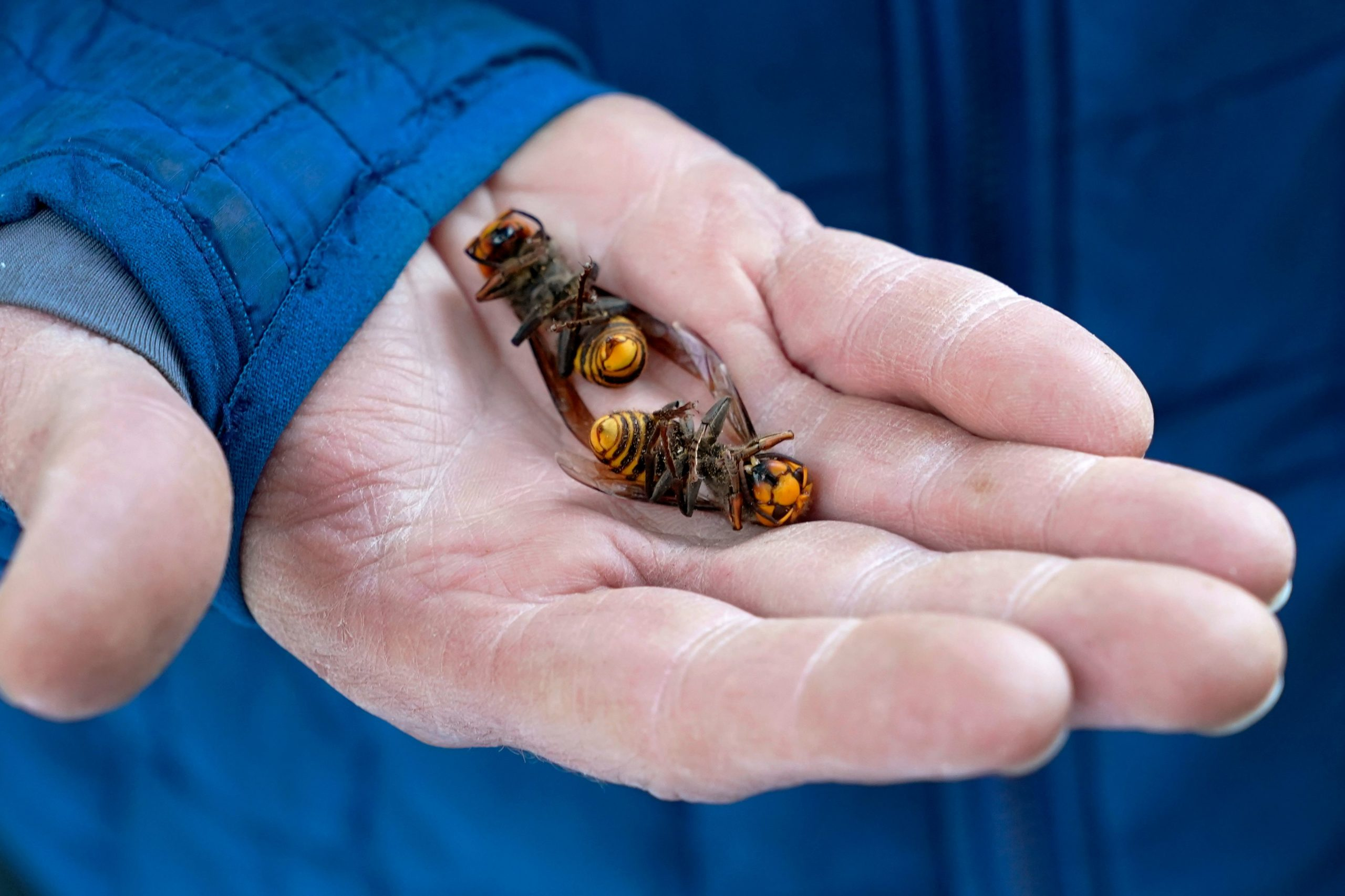 A Washington State Department of Agriculture workers holds two of the dozens of Asian giant hornets vacuumed from a tree on October 24, 2020, in Blaine, Washington. - Scientists in Washington state discovered the first nest earlier in the week of so-called murder hornets in the United States and worked to wipe it out Saturday morning to protect native honeybees. Workers with the state Agriculture Department spent weeks searching, trapping and using dental floss to tie tracking devices to Asian giant hornets, which can deliver painful stings to people and spit venom but are the biggest threat to honeybees that farmers depend on to pollinate crops. (Photo by Elaine Thompson / POOL / AFP) (Photo by ELAINE THOMPSON/POOL/AFP via Getty Images)