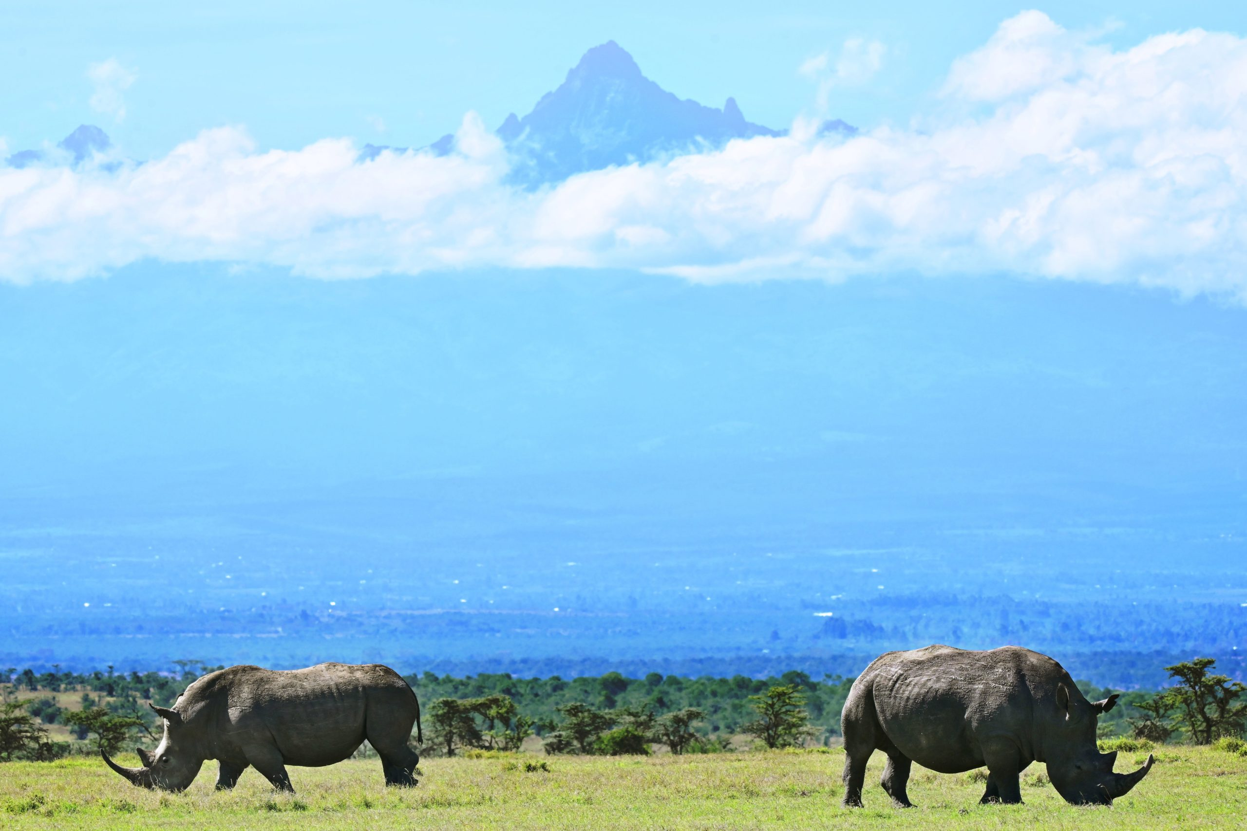 A picture taken on May 28, 2019 shows a pair of white rhinoceros grazing in the morning, with Mt. Kenya's peak in the background, at Ol-Pejeta conservancy at Laikipia's county headquarters, Nanyuki. - Ol-Pejeta, a private conservancy on Kenya's Laikipia plateau that shelters, among other endangered giants, the only two northern white rhinos left anywhere on earth, launched what it calls the world's first wildlife tech lab, that develops the latest technological weaponry to combat poaching. (Photo by TONY KARUMBA / AFP) (Photo credit should read TONY KARUMBA/AFP via Getty Images)