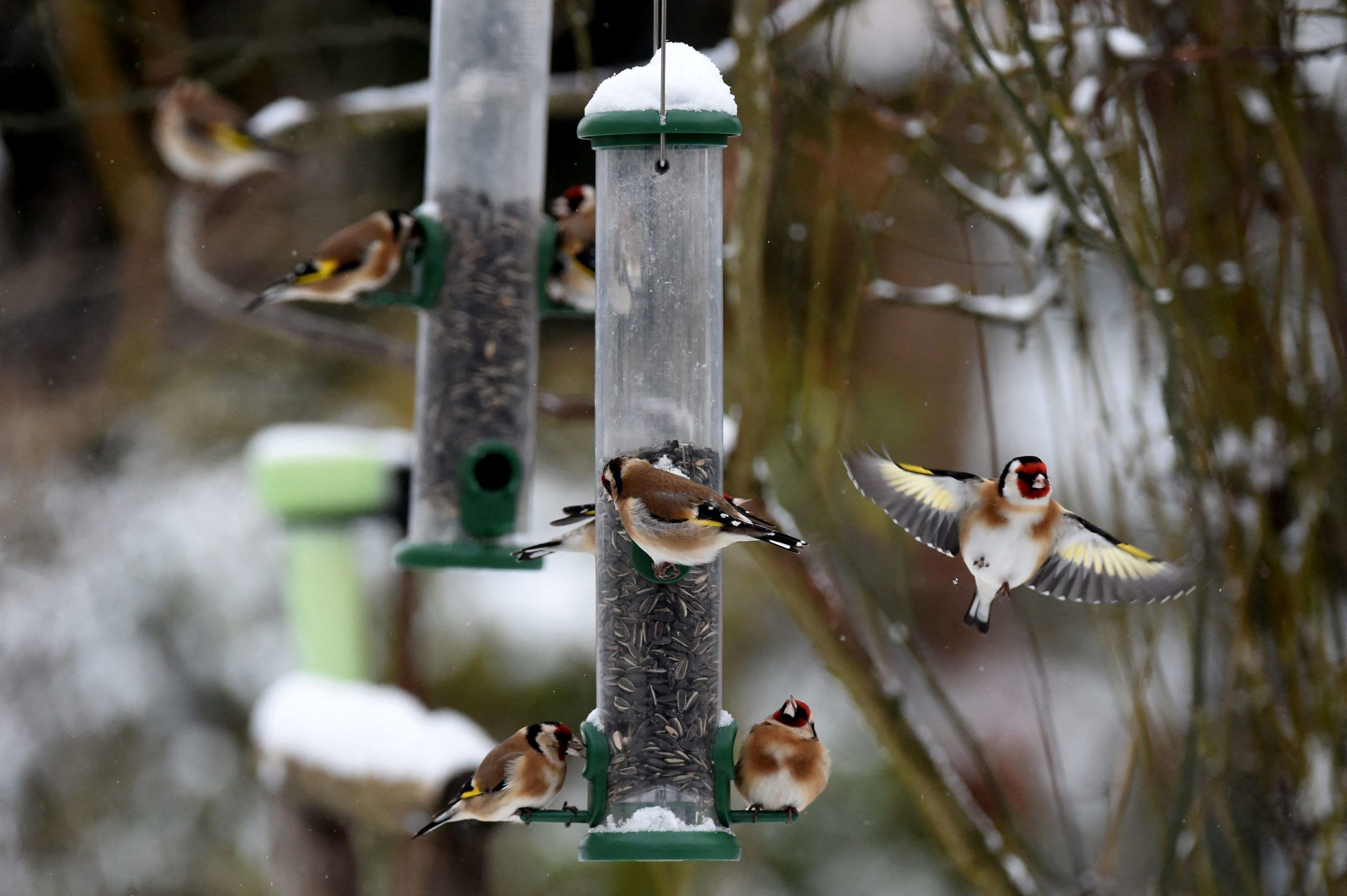 European goldfinches eat from a hanging bird feeder hanging in a garden following an overnight snowfall in Illiers-Combray, centeral France, on February 10, 2021. (Photo by JEAN-FRANCOIS MONIER / AFP) (Photo by JEAN-FRANCOIS MONIER/AFP via Getty Images)