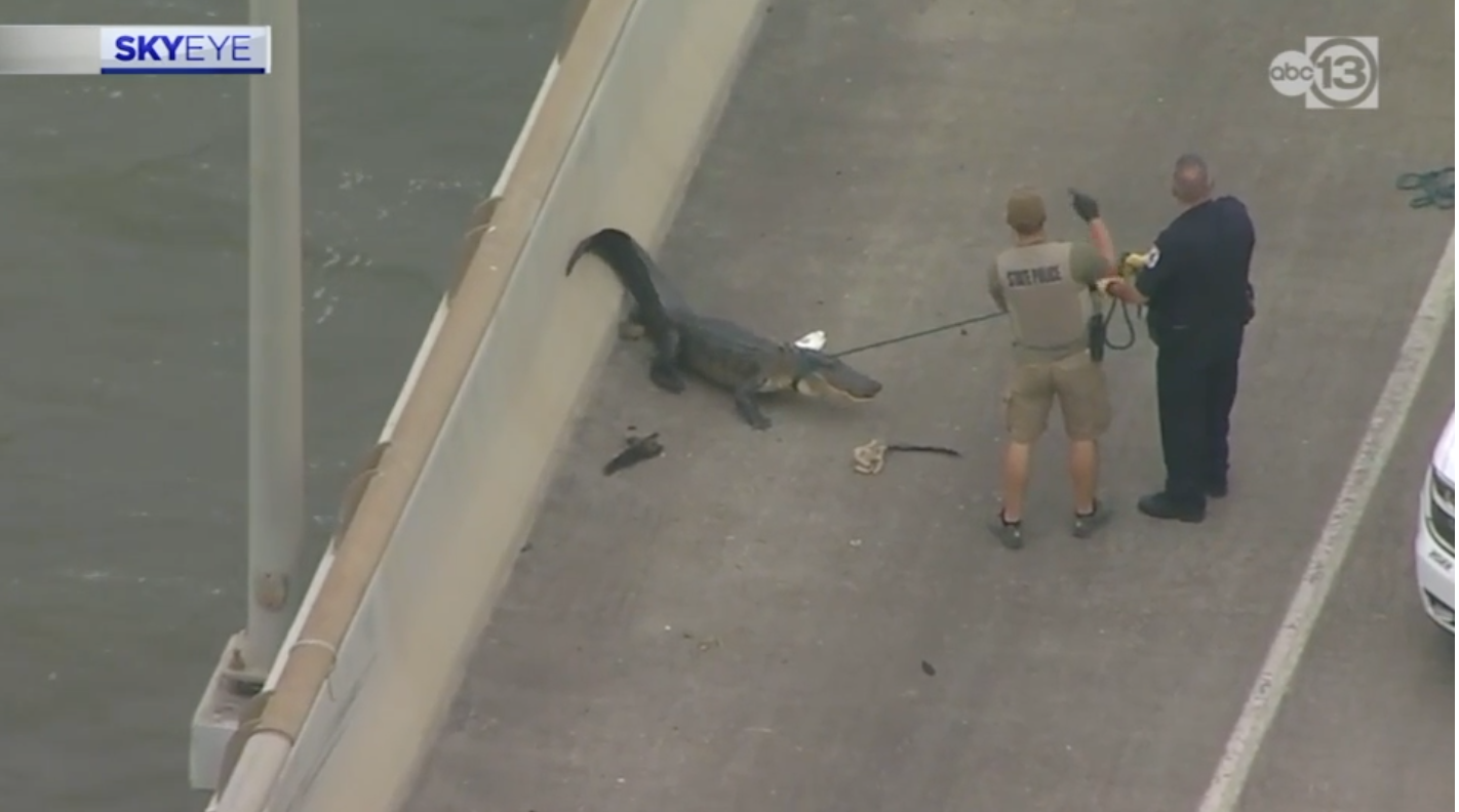 Deputies wrangle an alligator lounging on the highway (Screenshot/ABC)