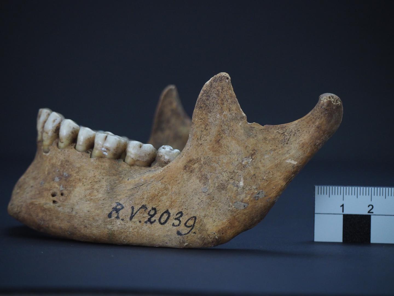 Jawbone of RV 2039 (Credit: Dominik Göldner, BGAEU, Berlin)