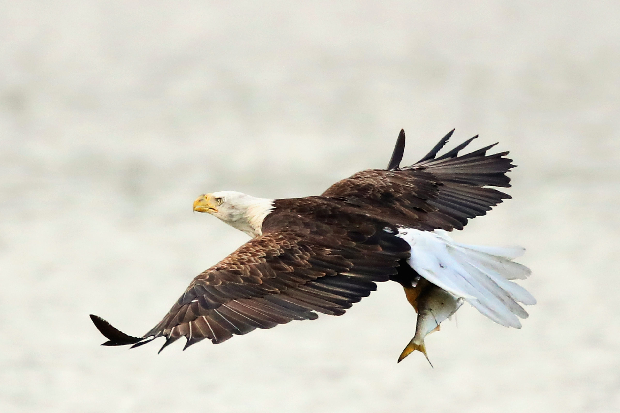 CENTERPORT, NY - JULY 29: An American bald eagle flies over Mill Pond with a freshly caught fish on July 29, 2018 in Centerport, New York. (Photo by Bruce Bennett/Getty Images)