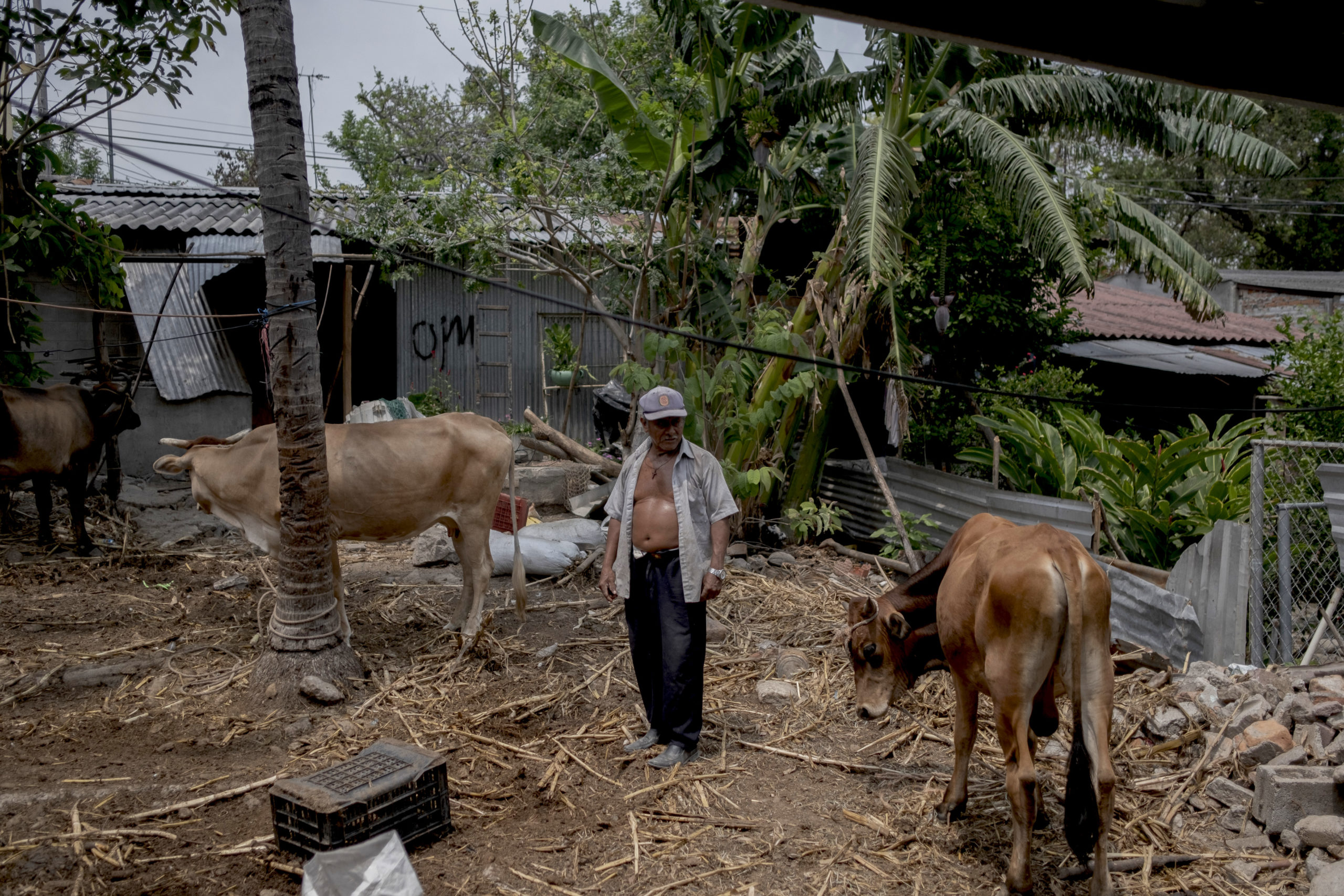 Francisco Hernandez, 65, watches his livestock on April 27, 2021 in San Juan Talpa, El Salvador. US Vice President Kamala Harris announced on Monday a humanitarian aid package of 310 million dollars for El Salvador, Honduras and Guatemala. (Photo by Fred Ramos/Getty Images)
