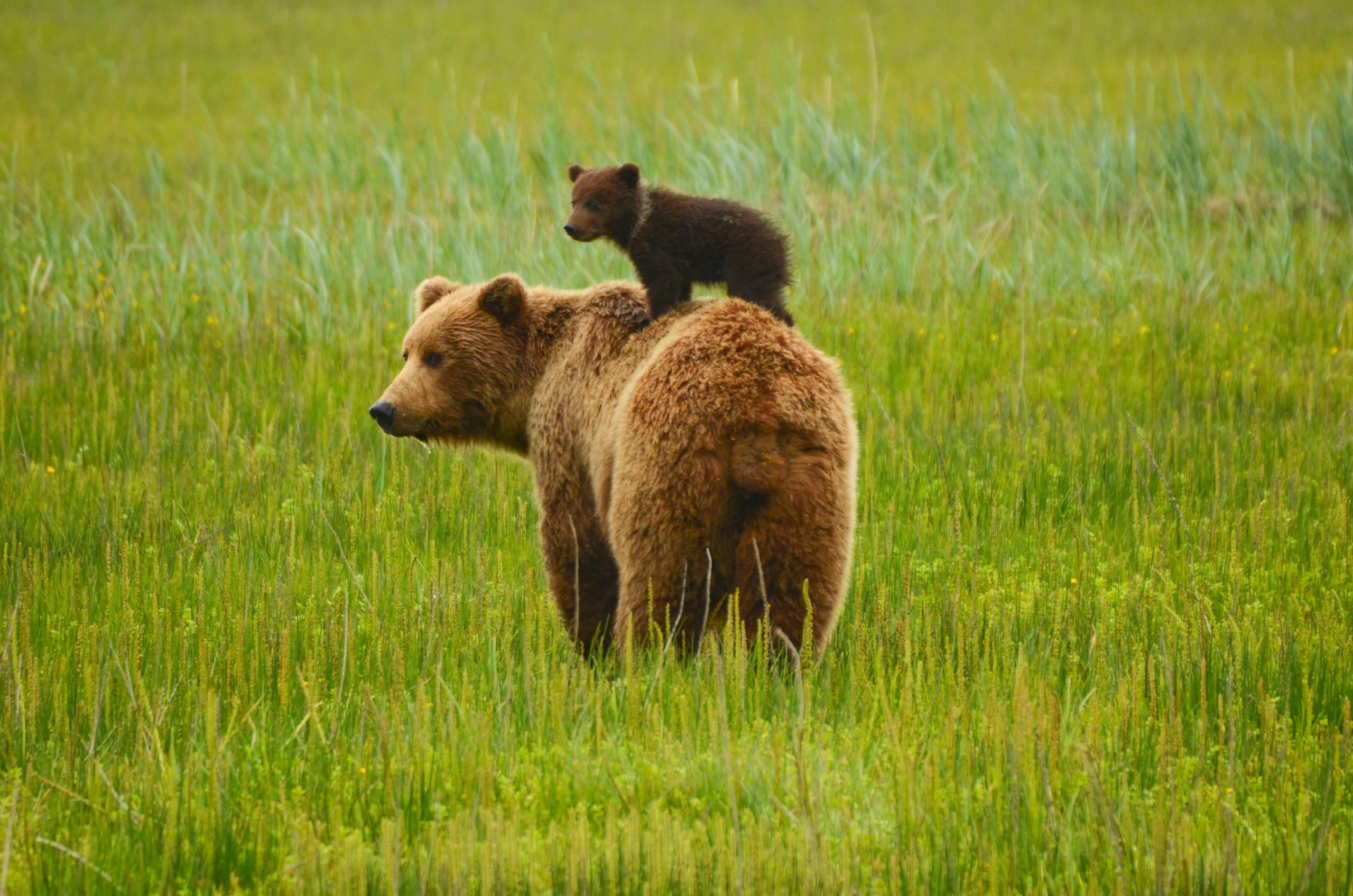 Brown bears [Shutterstock]