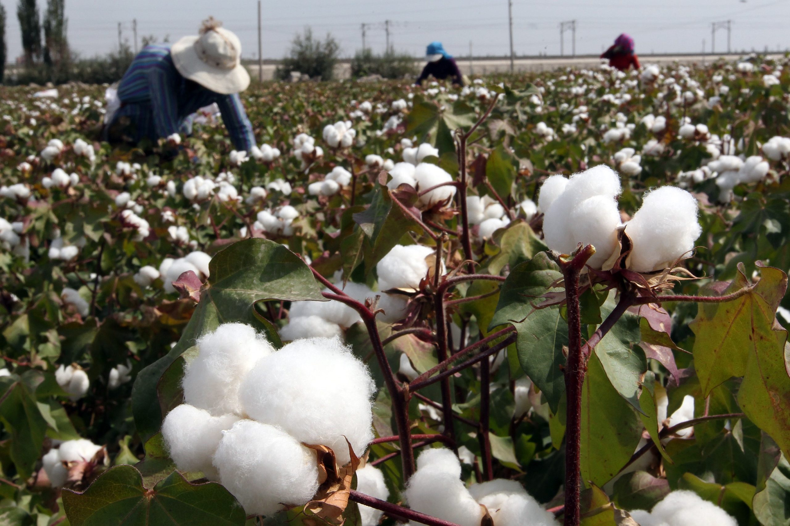 This photo taken on September 20, 2015 shows Chinese farmers picking cotton in the fields during the harvest season in Hami, in northwest China's Xinjiang region. Chinese Premier Li Keqiang urged reforms on September 20 of inefficient state-owned enterprises as his government tries to restore confidence in its slowing economy, state media reported on September 20.CHINA OUT AFP PHOTO (Photo credit should read STR/AFP via Getty Images)