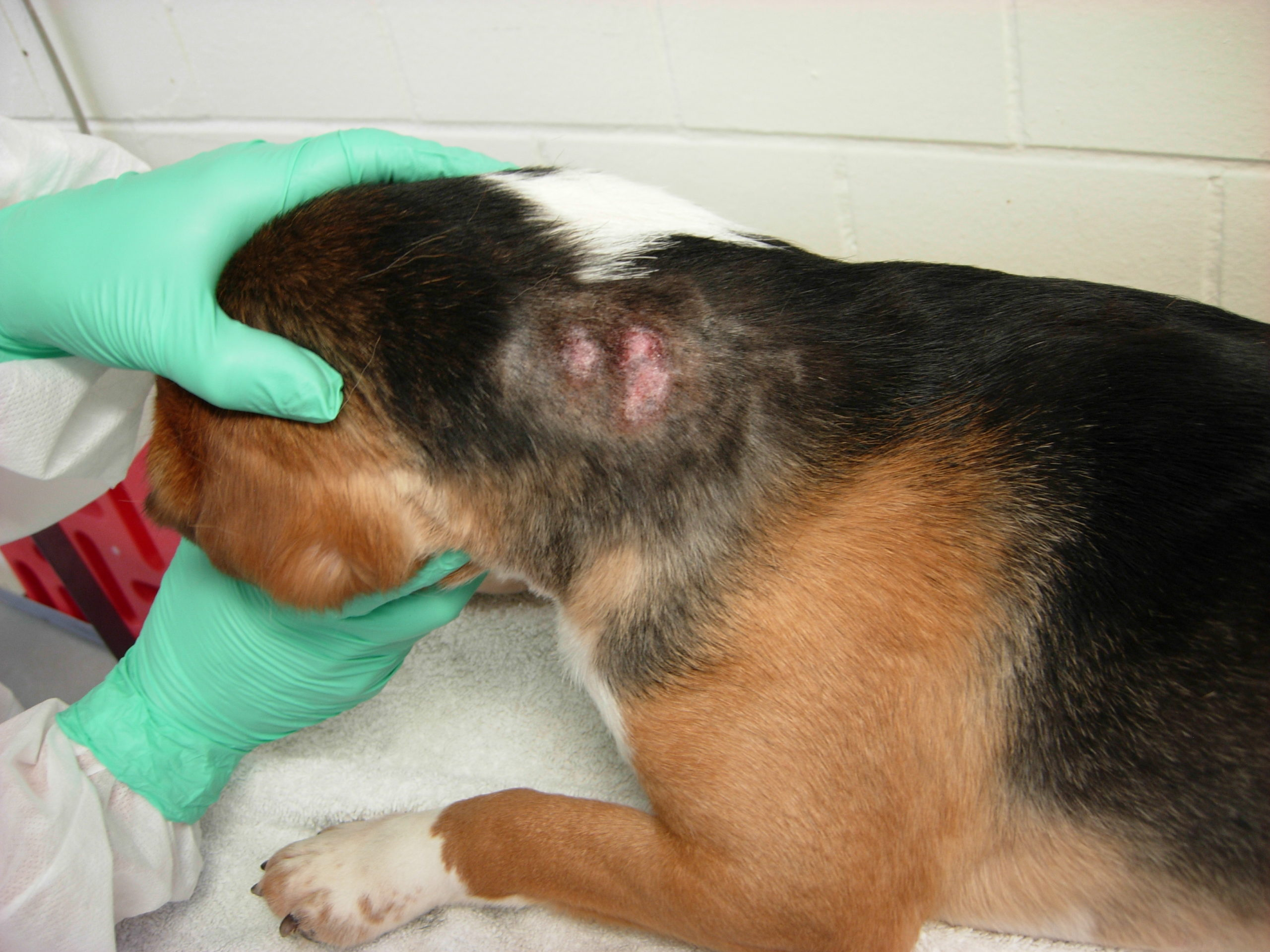 A dog is experimented on at an NIAID lab. (White Coat Waste Project)