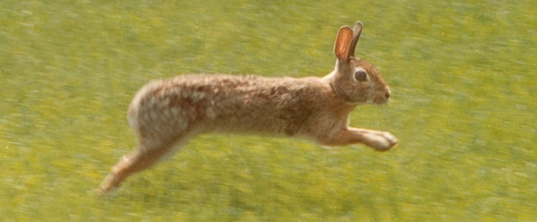 A rabbit hurries across a field at Hacketts Park in Easton, Pa.,  Easter morning,in this March 31, 2002 file photo. (AP Photo/The Express-Times, Joe Gill)